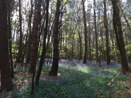 Bluebells in Grub St Woods