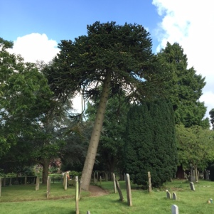Monkey Puzzle in St Peter's churchyard